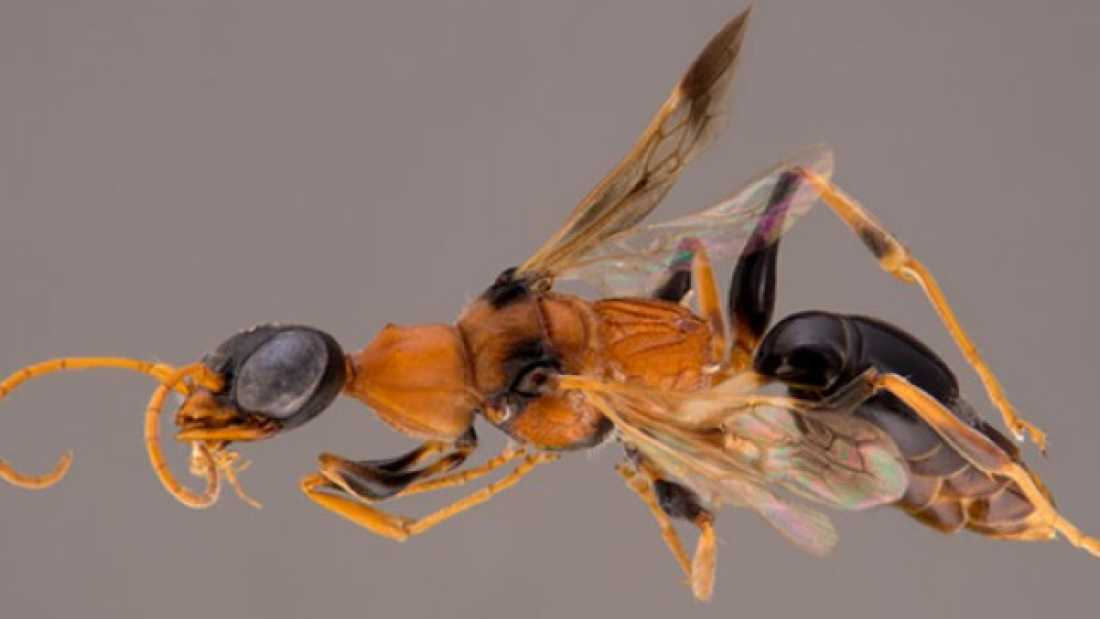 853 Recently-Discovered Wasp Species Named For Harry Potter Creature