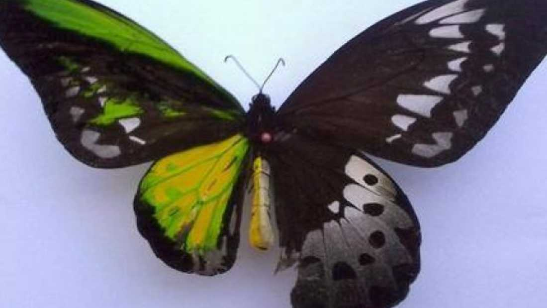100 Bilateral gynandromorphs - animals that are quite literally, half male and half female.