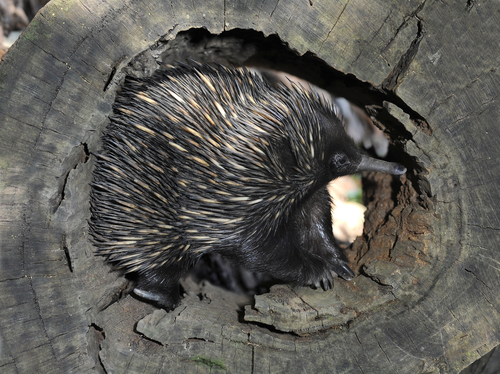 Echidna Survival Technique Could Be Key To Mammals Success Iflscience