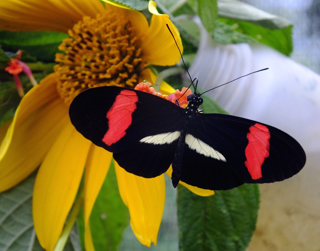 the same gene blackens moths and colors butterflies iflscience