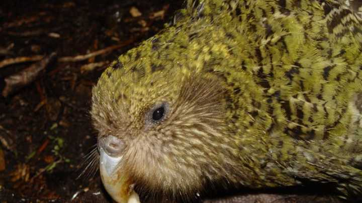 Image of: Endangered Australian Iflscience Scientists Name Top 100 Unusual And Endangered Birds Iflscience