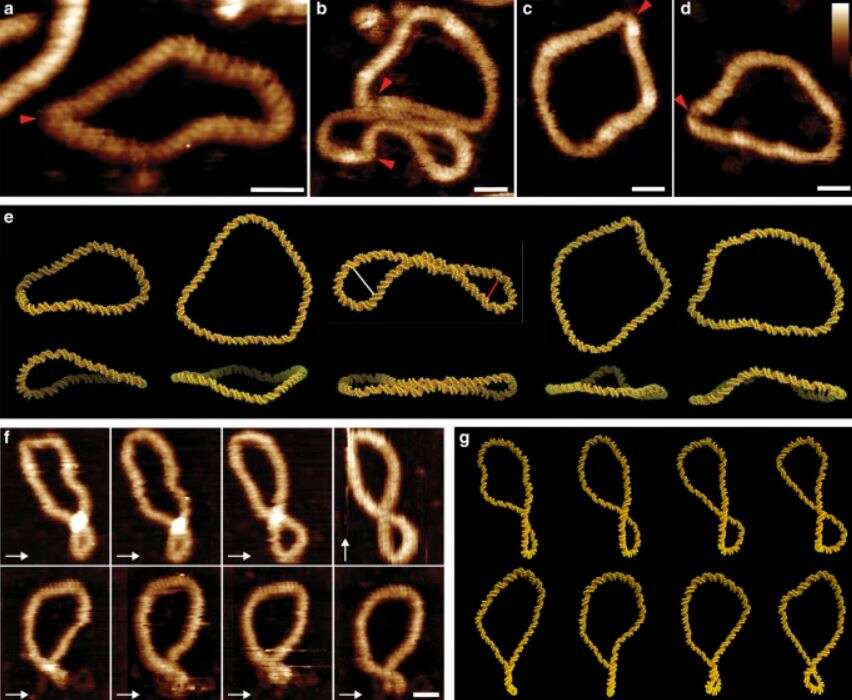 DNA minicircles supercoil in order to form an ever-changing array of of odd shapes. Image: A. L. B. Payne et al., 2021/Nature Communications