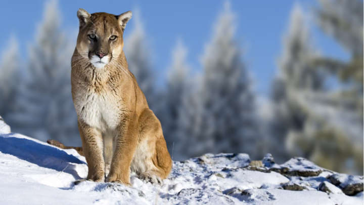 C Lion Review The Eastern Cougar Is ...