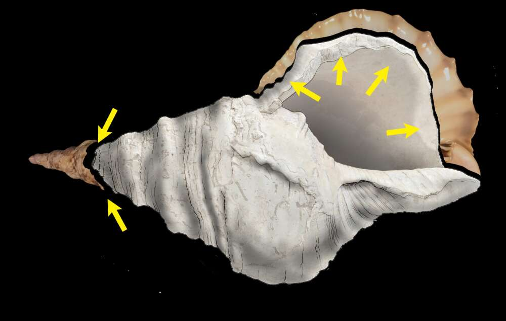 The Charonia shell bears the traces of important modifications of human origin. 1: elimination of the labrum (outer lip) by series of strokes. 2: opening of the apex by destruction of the first six spires