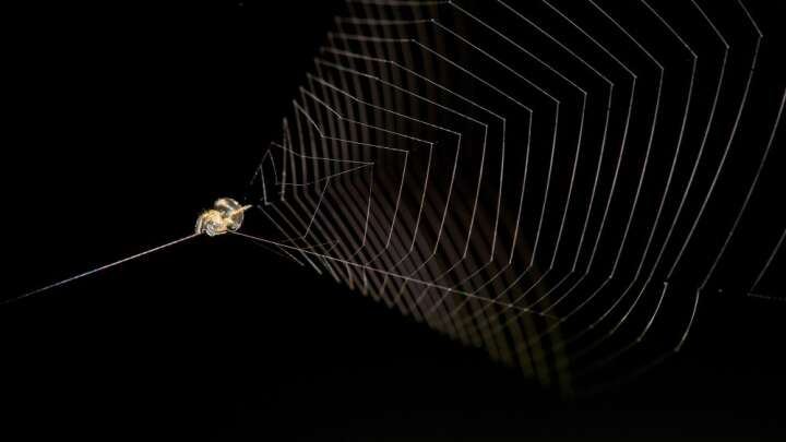 Peru's Slingshot Spider Can Propel Itself 100 Times Faster Than A Cheetah