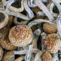 Mushrooms with the psychoactive compound psilocybin in are known as magic mushrooms