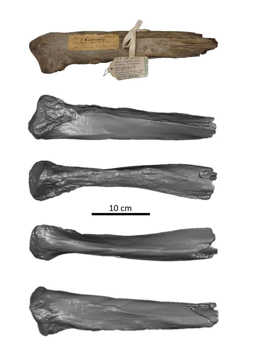 Photo and 3D model of Mount Holly mammoth rib fragment