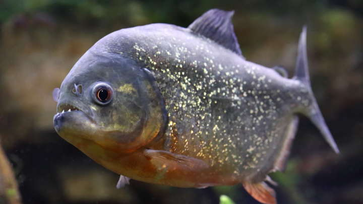 Mystery As Piranhas Pop Up In British Lake 5,000 Miles From Home