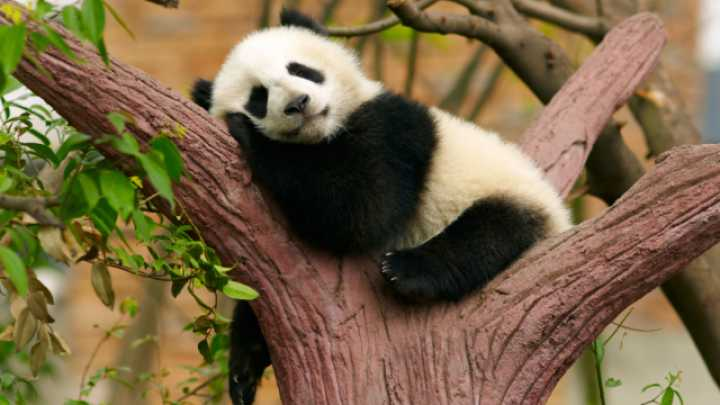 Pandas Cope With Their Bamboo Diet by Being Lazy | IFLScience