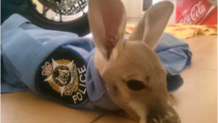 Adorable Baby Kangaroo Adopts Police Officer As Its Mom - Watch It Climb Into His 'Pouch'