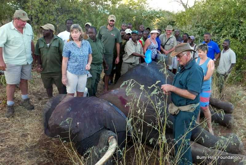 Elephant Limps To Find Humans After Being Shot By Poachers ...