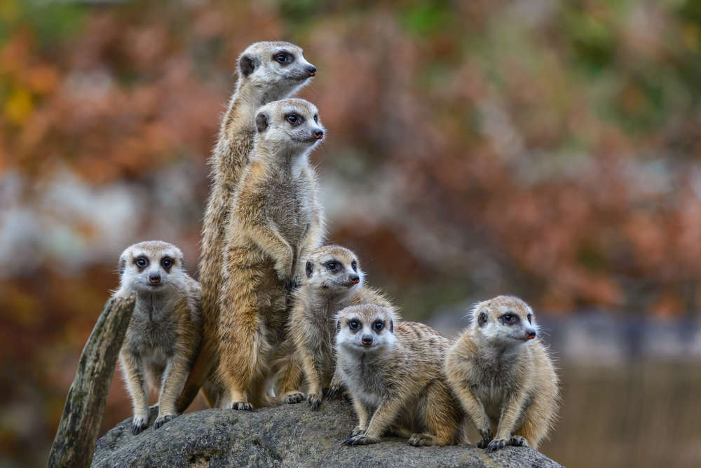 Image result for concerned meerkat""