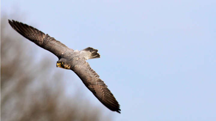 Why Peregrine Falcons Dive Bomb As Fast As Race Cars Iflscience