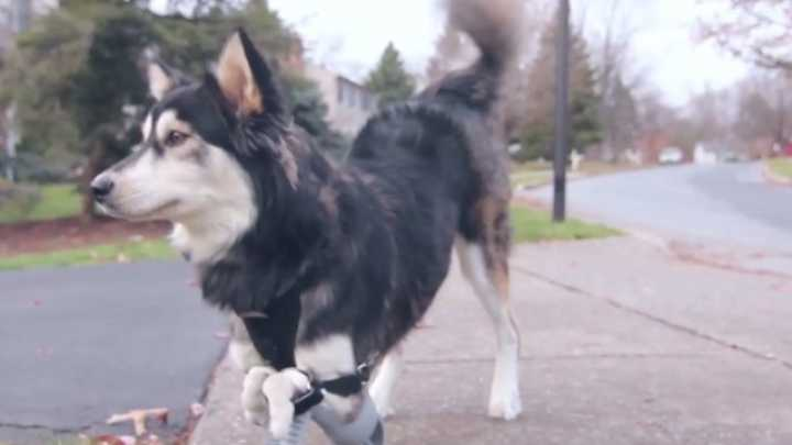 Dog Born Without Front Limbs Given 3D Printed Legs