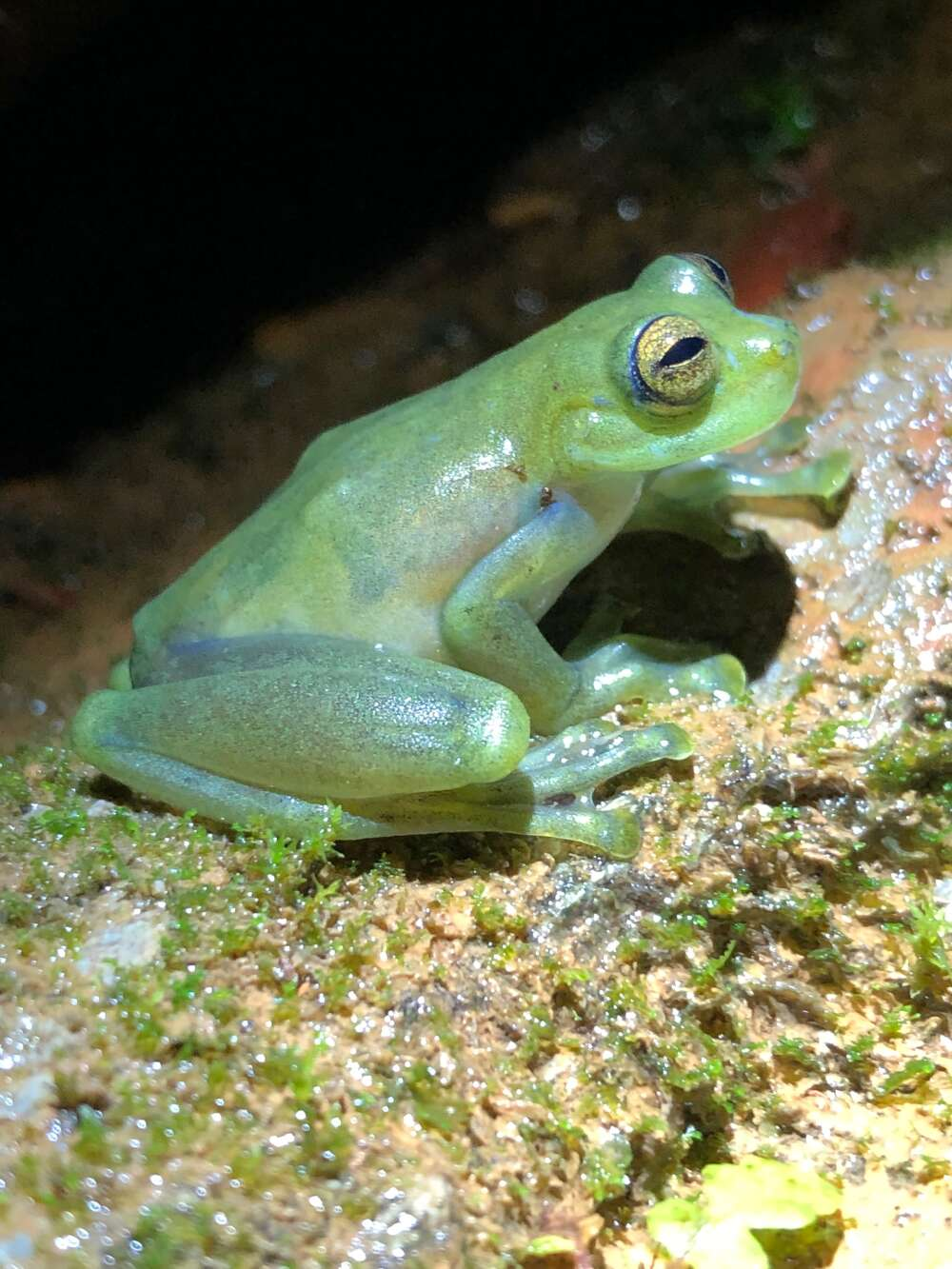 glass frogs wave at each other