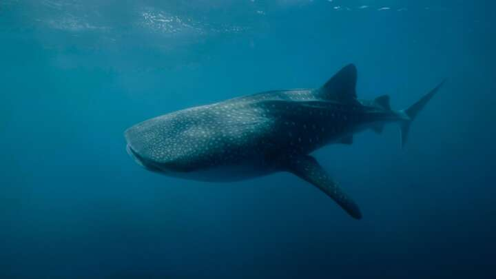 default 1600268500 the results are in and when it comes to size females tip the scale for whale sharks andre rereuka aims.'