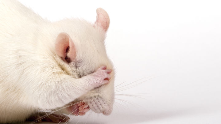 Autism-Like Behavior In Mice Reversed After Treatment With A Common Gut Bacteria