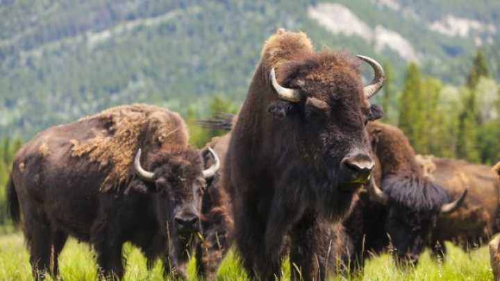 Bison Seriously Injures Second Tourist In Three Weeks At