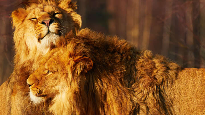 Two Male Lions Spotted Having Sex In Kenya | IFLScience