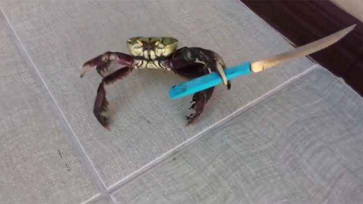 the real reason this crab is wielding a knife is actually pretty