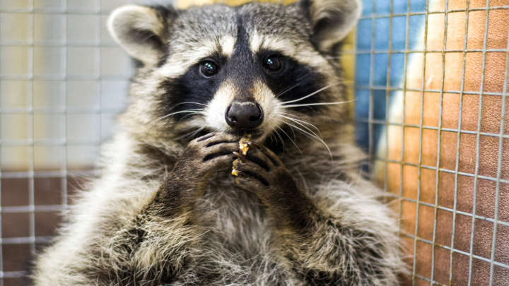 Rebel Raccoon Solves Ancient Greek Puzzle In Entirely