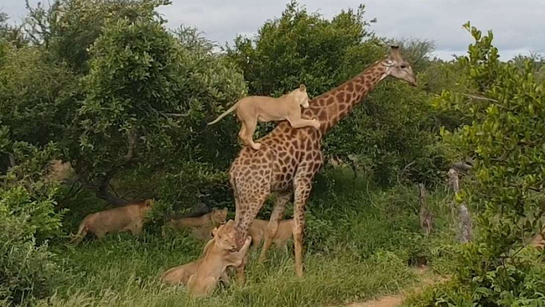 Giraffe Fights Off Pride Of Lions To Win Epic 5-Hour Struggle