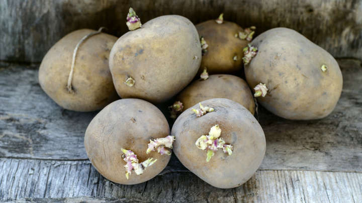 Planting Potatoes From Old Potatoes