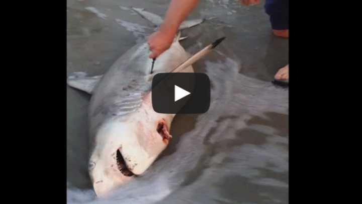 Watch A Man Deliver Three Baby Sharks From Dead Mother