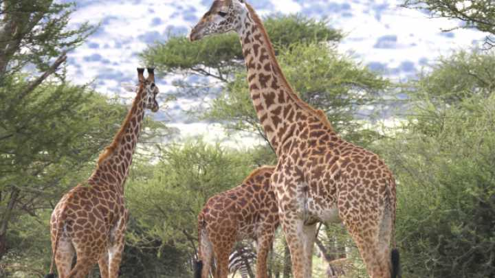 Researchers Have Sequenced Giraffe And Okapi Genomes For The First