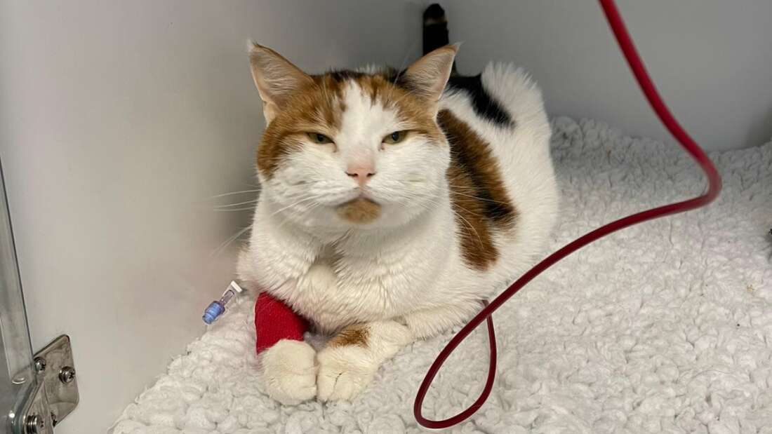 Can Your Cat Get a Blood Transfusion?