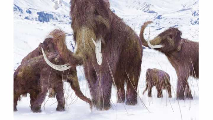 Scientists Successfully Insert Woolly Mammoth DNA Into Elephant Genome