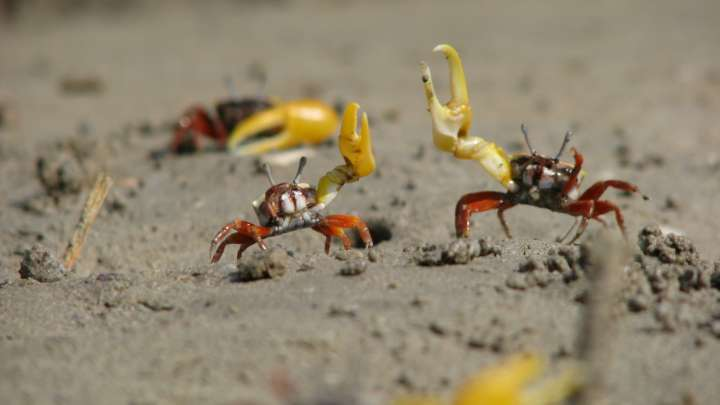 Male Fiddler Crabs Don U0026 39 T Know What Female Fiddler Crabs