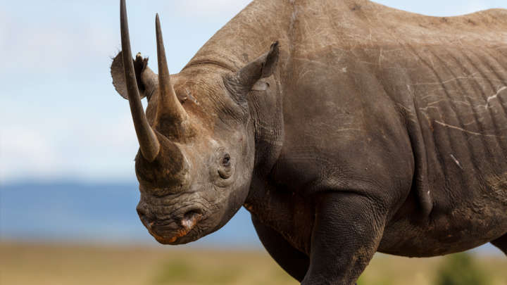 Image result for South Africa Has Just Been Granted Permission To Double Its Black Rhino Trophy Hunting Quota
