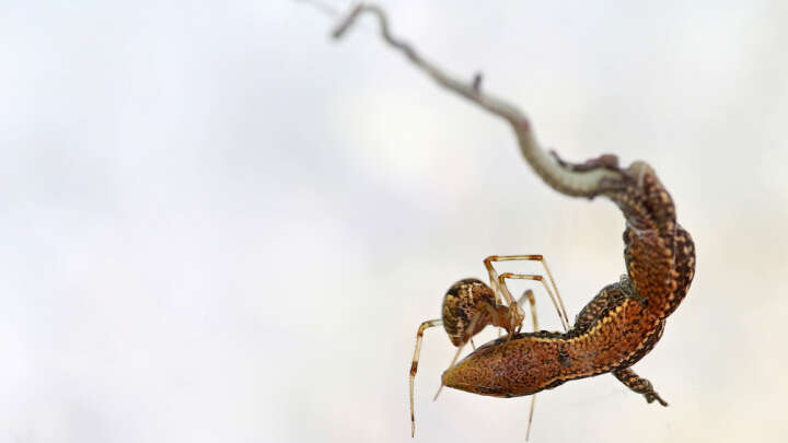 Tiny Spider Engineers Use Silk Pulley Systems To Lift Prey 50 Times Their Weight - IFLScience