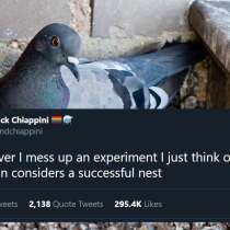 A pigeon sat in a 'successful nest'