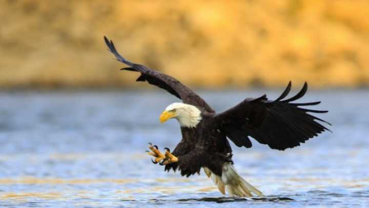 Bald Eagle Photo Work Ses Of Life