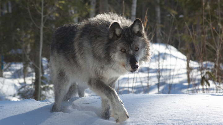 Image result for canadian wolves are airdropped