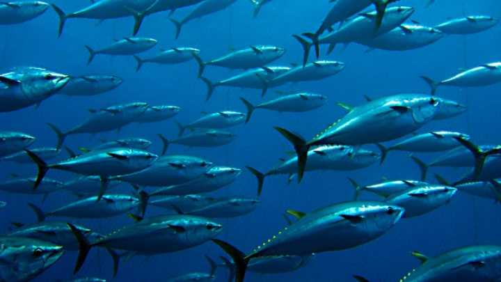 Populations Of Pacific Bluefin Tuna Have Crashed By 97 Percent