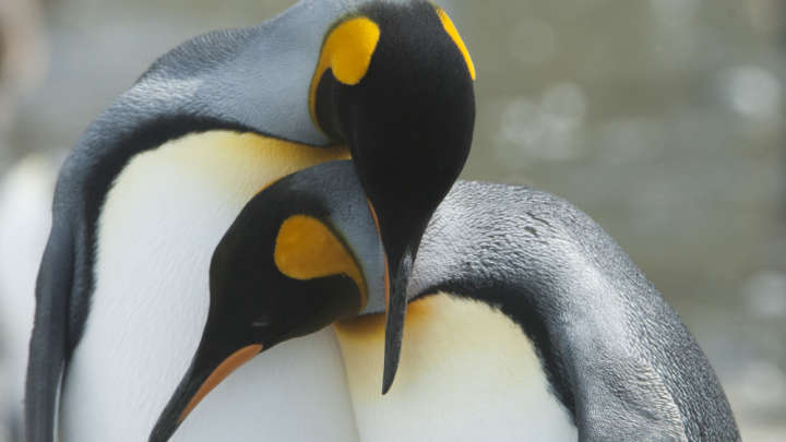 Penguin Daddy Duo Provide Around-The-Clock Care For Abandoned Egg