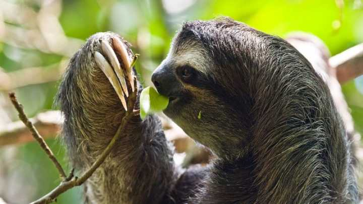 Happy Sloth Week - Here's Ten Facts About Sloths | IFLScience