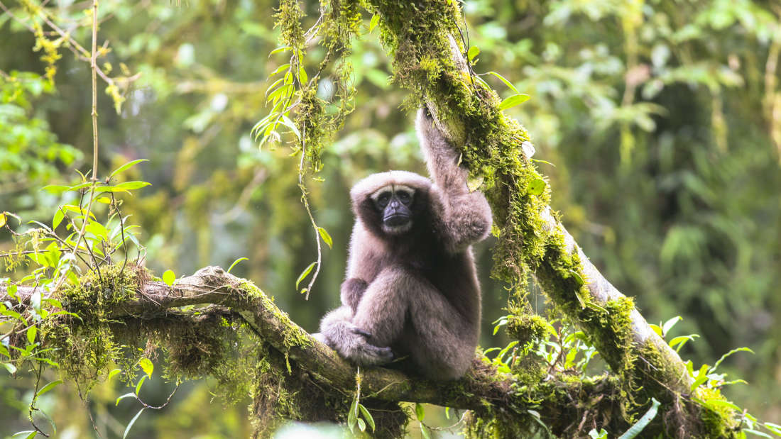 The Skywalker Hoolock Gibbon | FANPENGFEI
