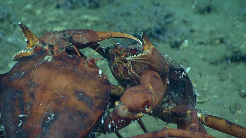 Two deep-sea male red crabs, Chaceon quinquedens, go claw-to-claw in an apparent duel for the affections of a nearby female. At least, that's how we interpreted their behavior.