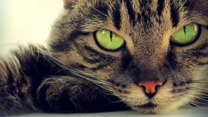 Cat Parasite Linked To Development Of Mental Illness In Owners