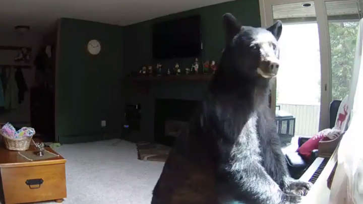 Video Bear Breaks Into House Plays Piano Whilst Family