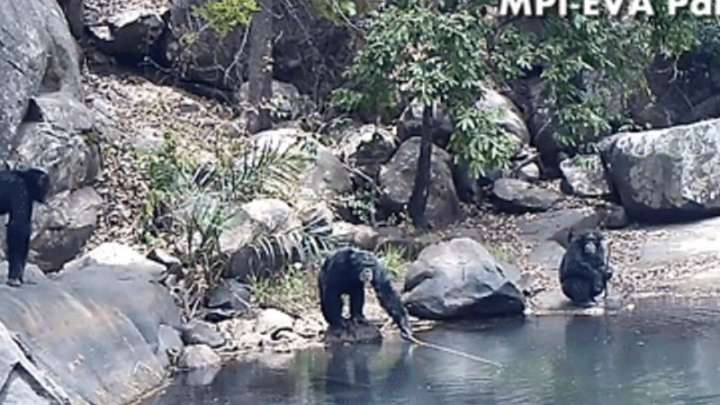 Chimpanzees Use Fishing Rods To Gather Algae From Rivers