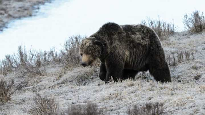 'Scarface,' The Beloved Bear Of Yellowstone Park, Has Been Killed