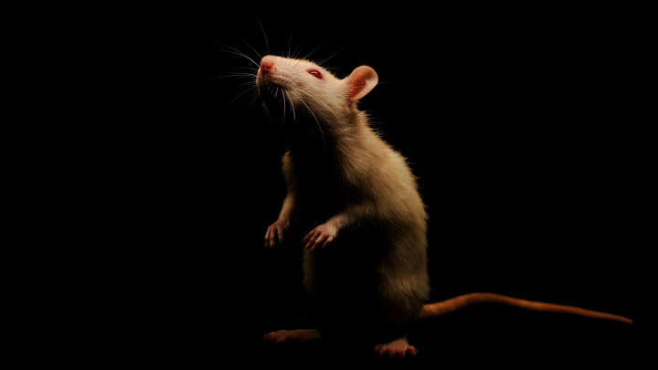Stoned Lab Rats Become Too Lazy For Tests, Study Finds