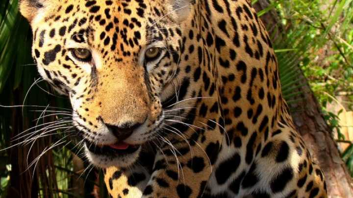 What Do Jaguars Eat >> Jaguar Tastes The Hallucinogenic Effects Of Yage Iflscience