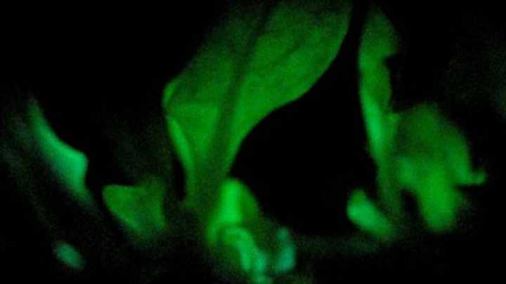 Bioluminscent trees could light up our streets