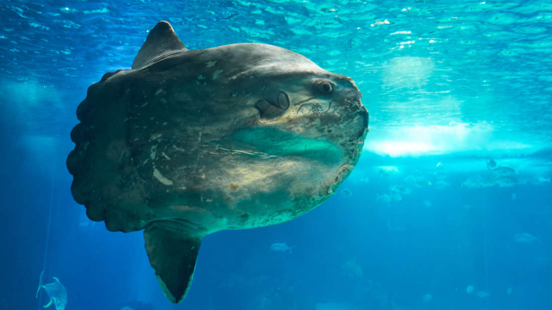 Giant Sunfish So Big Fishermen Thought It Was A Shipwreck Washes Up On Australian Beach